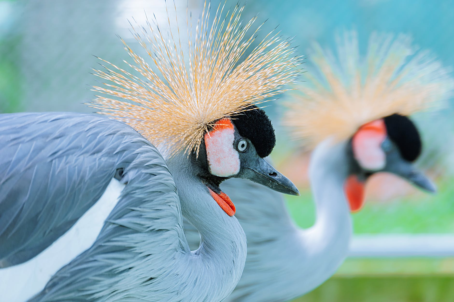 shallow focus photography of two crowned crane
